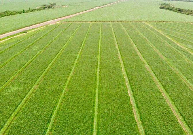 A tecnologia de mudas de cana-de-açúcar PeRRfecta tem um case de sucesso na usina Barracool em Barra do Bugres-MT